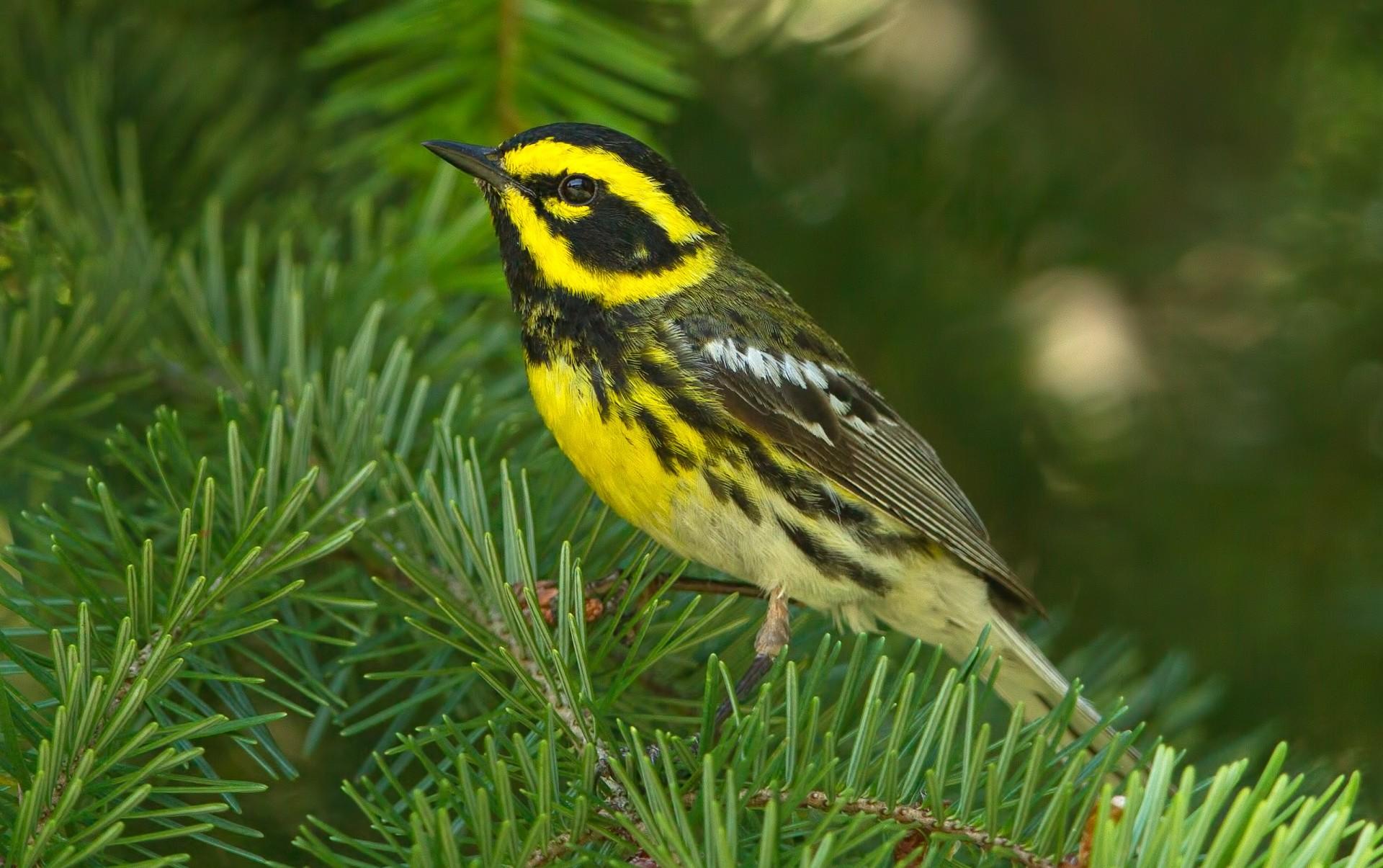 Dawson Road Townsend's Warbler