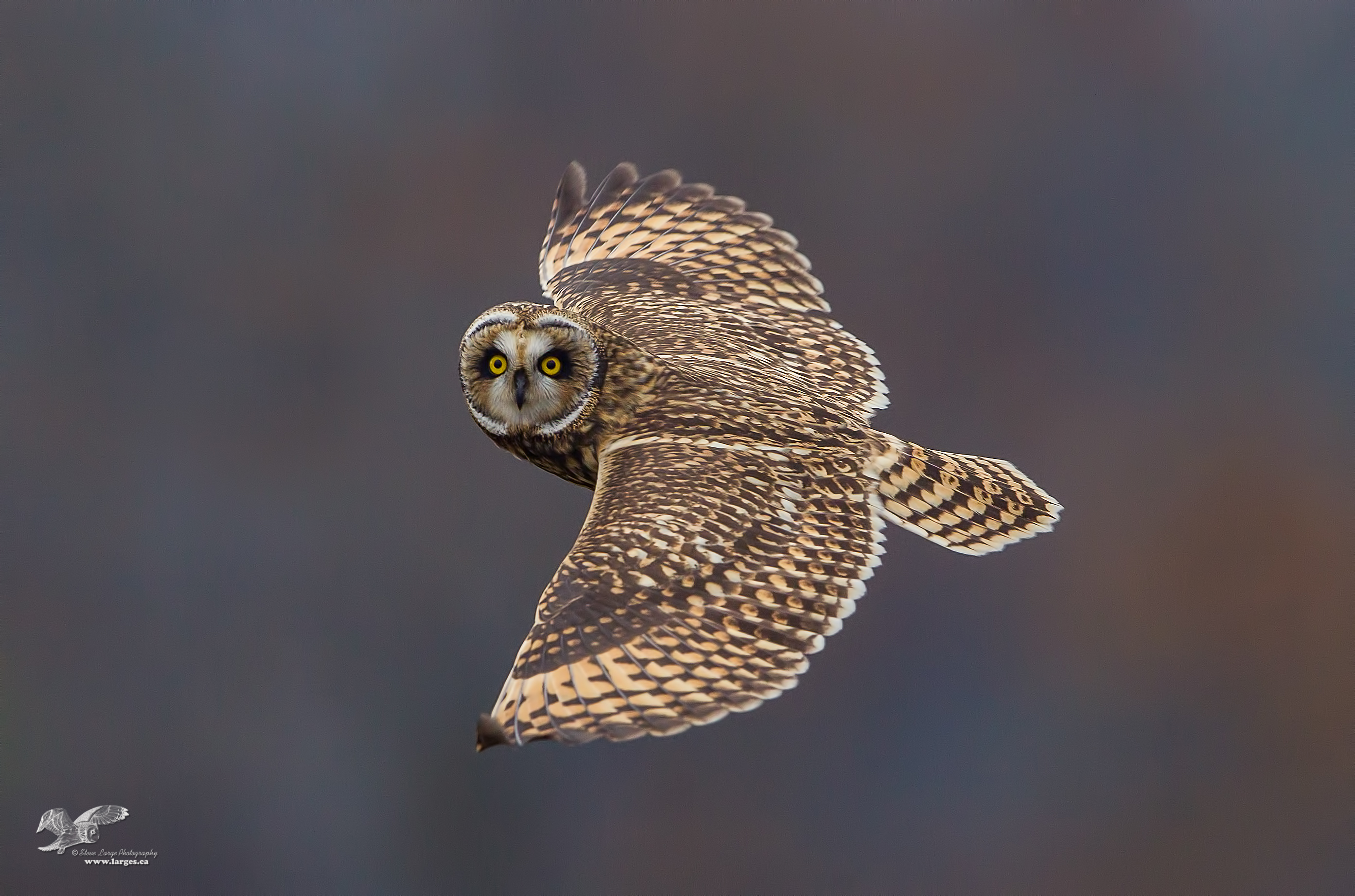 Autumn Background (Short-Eared Owl)